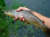 Brown Trout on a Comparadun Pattern