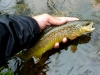 Smallish Brown Trout