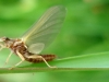 Light Hendrickson Mayfly