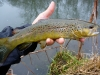 Iowa Brown Trout
