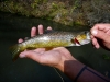 One of the Brown Trout