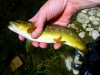 Fat Caddis Fed Driftless Area Brown Trout