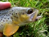 Brown Trout on a #18 HB