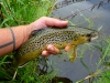 Brown Trout on a #12 HB