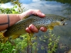 Brown Trout on a #16 HB