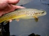 Chubby Brown Trout