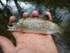 Rainbow Smolt