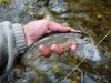 Heritage Strain Brook Trout