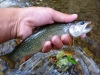 SE MN Heritage Strain Brook Trout
